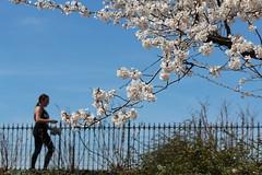 Central Park Cherry Blossom (shinya) Tags: sakura cherryblossom cherryblossoms jacquelinekennedyonassisreservoir