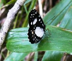 butterfly mount hagen Papau New Guinea (Pete Read) Tags: butterfly mount hagen papau new guinea