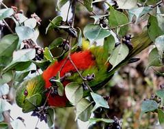 orange-billed lorikeet at kumul lodge (Pete Read) Tags: orangebilled lorikeet kumul lodge papau new guinea