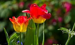 Sonnenfänger / Suncatcher (schreibtnix on 'n off) Tags: natur nature garten garden pflanzen plants blumen flowers tulpen tulips rot red gelb yellow nahaufnahme closeup sonne sun sonnenfänger suncatcher olympuse5 schreibtnix