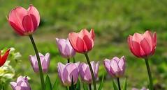 Méli-mélo de tulipes (mamietherese1) Tags: ngc npc coth fantasticnature coth5 earthmarvels50earthfaves phvalue