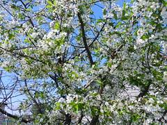 DSCN0222 (serega_moskalev) Tags: вишня цвет вишни цветки cerasus cherry flowers spring
