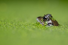 091/365 (neals pics) Tags: frog commonfrog pond garden water nature naturallight natural naturephotography naturalworld green spring suffolk 365the2017edition 3652017 day91365 1apr17