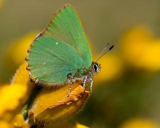 Green Hairstreak.Callophrys rubi.
