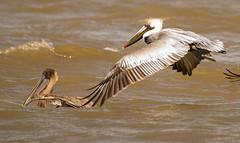 Brown Pelicans; A Bird Survivor (Rifa21) Tags: birds birdphotography beak digitalphotography wildlife waterbirds wetlands webfeet sony a77ii aviary james river brown pelican