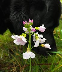 Cuckoo Flower & Raindrops (Claire-Louise Beyga) Tags: cuckoo flower raindrops spring springtime good friday photobomb hugo dog labrador rain wet green black pink iphone iphone6s april