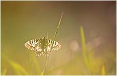 Controluce (Photo Luc@) Tags: controluce sigma canon 6d ff allaperto macro soft farfalla sfocato