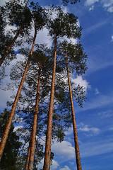 Tall marginal pines (МирославСтаменов) Tags: russia moscowregion sky cloudscape cirrus tree pine crown forest margin
