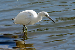 Little Blue Heron, Juvenile (M. Coppola) Tags: florida hillsborough littleblueheron egrettacaerulea juvenile whitestage