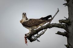 Stare (Ginger Snaps Photography) Tags: osprey bird wild prey fish fishing highland scotland stare eyes catch beak wing feather wildlife nature