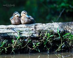 Juvenile Mallards - Ivy Creek (mark bochiardy images) Tags: juvenile mallards ivy creek suwanee ga