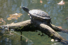Basking Turtle (edenpictures) Tags: reptile turtle bronxzoo newyorkcity nyc turtlepond redearedslider water
