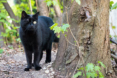 pirate cat (sven rahm) Tags: katze auge schwarz stadt wald gebüsch baum natur outdoor tier panasonic lumix