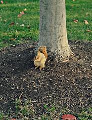 Squirrel (LeanneRichelle) Tags: squirrel squirrell squirel grandrapids grandrapidsparks grandrapidssquirrel cutesquirrel squirrelfriend