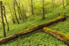 Unteres Remstal (Gerosas) Tags: abhang altholz april baumstämme bewölkt bärlauch frühling grün hegnach kalt nass natur ostermontag ostern rems remsmurrkreis unteresremstal waiblingen