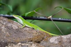 2017 Hawaii-199 (Michael L Coyer) Tags: hawaii2017 waimea waimeavalley lizard gecko salamander