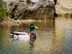 Mallard (c.poole photography) Tags: mallard duck middlegrounds metropark toledo ohio outdoors nature birds bird olympus em10 mkii panasonic lumix 100300 telephoto mft m43 micro four thirds