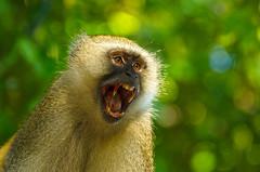 Vervet Monkey - Cercopithecus aethiops (lyn.f) Tags: vervetmonkey cercopithecusaethiops chobenationalpark botswana