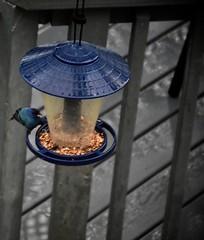 2017 April 22, Indigeo Blue Bird Nikon D7200 (King Kong 911) Tags: bluebird indigeo