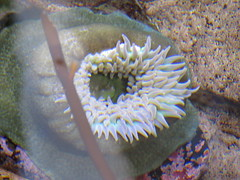 anemone 05 (thedawnsbrain) Tags: sea anemone seaanemone