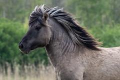 Konik horse with beautiful hair (madphotographers) Tags: konik konikpaarden oostvaardersplassen nature wild wilderness horses horse