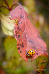 Asian Beetle on a early autumn leaf (Barry Cruver) Tags: carboncounty dltrail delawareandlehigh destination lehighcanal locations pa pennsylvania weissport wildlife autumn beetle destinations insect naturephotography leaf