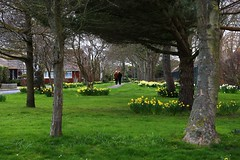 Strolling through the Daffodils (tiger289 (The d'Arcy dog supporters club)) Tags: eastpreston westsussex villagegreen dogs penangvillagerestaurant flowers trees beach waves breakwaters sea searoad sealane heraldry architecture clockhouse clocktower plaques villagelife cars boules twoacres oakleygardens