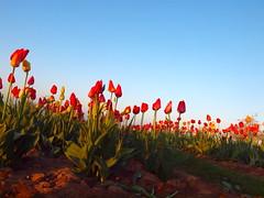 TULPEN UND BLAUER HIMMEL P4095267 (hans 1960) Tags: tulpen tulips flower fleur blossoms nature natur spring frühling printemps primavera farben colours red rot blau blue