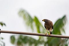 Gavião carijó (Klelber) Tags: ngc nature bird hawk birdofprey hunter amazonian brazil
