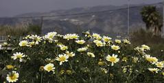 IMG_4823 (J.Gargallo) Tags: margaritas flores flower garden jardin castellón comunidadvalenciana castellóndelaplana españa eos eos450d 450d canon450d canon tokina tokina100mmf28atxprod