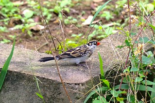 Pin-tailed whydah (female)