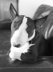 just chillin (darrenreeves3) Tags: terrier bully blackandwhite d750 50mm pose pet dog