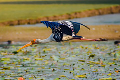 Painted Stork in flight (rajan4_photography) Tags: painted stork flight shot lake swamp nature bird lovers watchers morning photography birdphotography photooftheday birdphotos