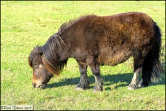 Nomansland Pony (dark-dawud) Tags: england eye wildlife hampshire pony knee nomansland grazing equine mane muzzle ringwood fetlock equstrian