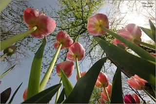 I Tulipani visti da una formica