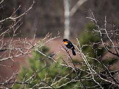Leafless (C-Towner) Tags: park ohio tree bird spring dof bokeh cleveland olympus tele omd metroparks redwingblackbird em5 ctowner panasonic100300mm