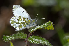Anthocharis cardamines ♀ (Sinkha63) Tags: france male nature animal butterfly wildlife lepidoptera papillon getty fra gettyimages corrèze aurore limousin beynat insecta orangetip anthochariscardamines pieridae pierinae anthocharis anthocharini annesorbes