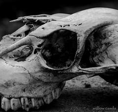 IMG_5040-2 (willowcanda) Tags: monochrome skull teeth deer collection bone decomposed
