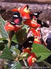 Doris Longwing - Laparus doris viridis on Hotlips (Psychotria poeppigiana) (Hickatee) Tags: forest butterfly insect rainforest belize wildlife culture butterflies lepidoptera toledo jungle puntagorda doris viridis dayflying longwing dorislongwing hickatee hickateecottages laparus laparusdoris laparusdorisviridis hickateebelize hickateepuntagorda