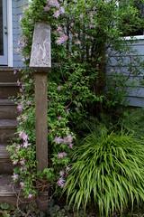 Clematis and Forest Grass (jacki-dee) Tags: grass yard clematis deckrail clematismacropetalamarkhamspink