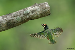 Flying Home (Ken Goh thanks for 1,700,000+ views) Tags: wild people green nature pose high pentax action no background ngc flight sigma clean sequence avian creamy fps coppersmith k3 barbet 500f45
