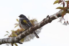 Yellow-rumped Warbler (shutterbusterbob) Tags: wild white black tree bird nature animal yellow canon eos washington branch wildlife perch pacificnorthwest stick skagit washingtonstate limb canoneos warbler skagitvalley skagitcounty yellowrumpedwarbler dendroicacoronata sedrowoolley 70d canon70d eos70d