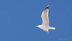 25 Abril 1974 - 2014  -  40 anos de Liberdade  -  Freedom (2) (VitorJK) Tags: travel 2 sky bird portugal de freedom 1974 fly abril free liberdade olympus 25 revolution 40 anos pt emotions vitor 2014 junqueira e500 vitorjk