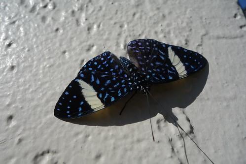 Starry Night Cracker, Butterfly World, Coconut Creek