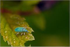 Groene struiksnuittor (polydrusus sericeus) Familie snuitkevers (Curculionidae) (Joop Rensema.) Tags: macro netherlands elements groningen tamron tamron90mm kever hoornsemeer tamronspaf90mmf28di macrolife sonya230 struiksnuittor