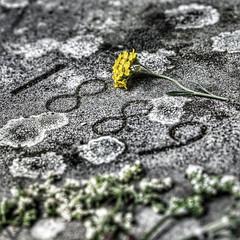 Die Welt ist alles, was der Fall ist (Sir Cam) Tags: cambridge grave spring 26 tombstone philosophy april 1889 1951 ludwigwittgenstein tractatuslogicophilosophicus theworldisallthatisthecase dieweltistalleswasderfallist