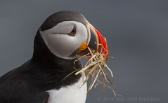 J77A9910 -- Face of a Puffin at Borgarfjrur-Eystri, on Iceland, with some building material in the beak (Nils Axel Braathen) Tags: ngc npc soe simplybeautiful greatphotographers ithinkthisisart avianexcellence gnneniyisithebestofday 100commentgroup whitegroup thebestofmimamorsgroups flickrsportal greaterphotographers flickrbronzetrophygroup greatestphotographers flickrstruereflection1 trueexcellence1 thesunshinegroup sunrays5