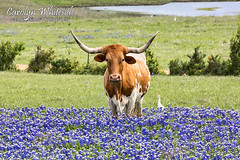 Longhorn Looking
