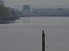 The Guardian (Bricheno) Tags: bird river scotland riverclyde clyde glasgow escocia cormorant szkocja govan schottland scozia cosse  esccia   bricheno scoia