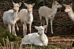 Sitting In The Sun (Glenda Hall) Tags: uk ireland nature canon spring deer april handheld northernireland fallowdeer fawns manualfocus fallow teleconverter forestpark glenda tyrone 2014 dun